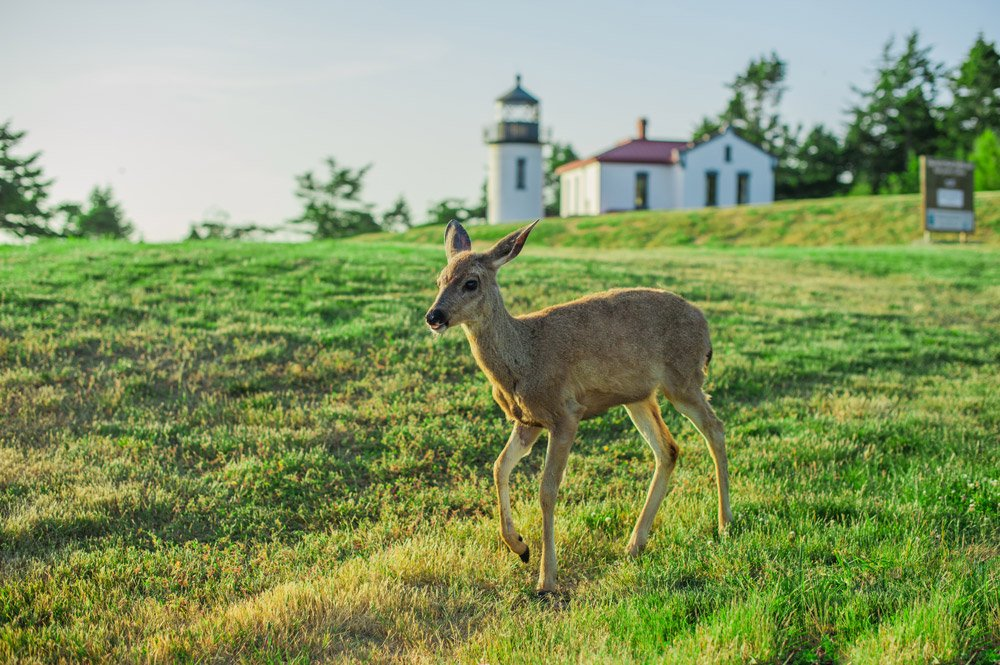 Deer in front of lighthouse
