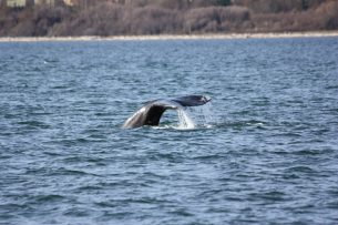 Gray Whale at Deception Pass